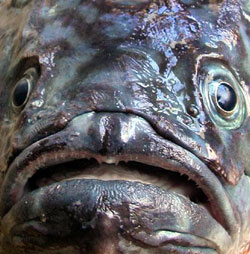 Mccain obama called me a fish suzie que 39 s truth and for Ugly fish pictures